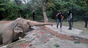 """""""Najbardziej samotny słoń na świecie"""" wychodzi na wolność"""