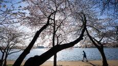 Kwitnące wiśnie w Waszyngtonie (PAP/EPA/JIM LO SCALZO)