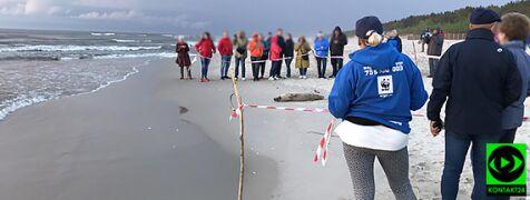 Foka Celebrytka odpoczywała w Krynicy Morskiej. Nagrał ją Reporter 24