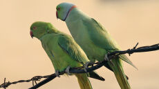 Wypuścili 50 papug, żeby ubarwić Brukselę. Teraz po Flandrii lata 10 tysięcy szkodników